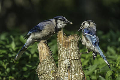 Photograph - Blue Jay Pair by David Waldrop