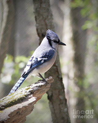 Photograph - Blue Jay Perch by Anita Oakley