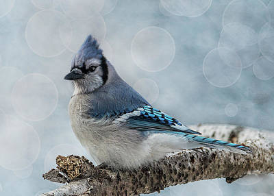 Photograph - Blue Jay Perch by Patti Deters