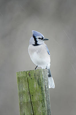 Photograph - Blue Jay Perched by Susan McMenamin