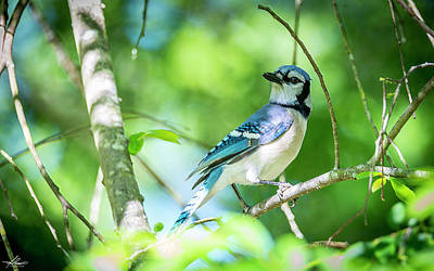 Photograph - Blue Jay by Philip Rispin