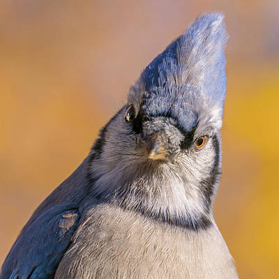 Corvidae Photograph - Blue Jay Portrait by Jim Hughes