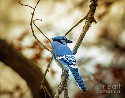 Bluejay Photograph - Blue Jay by Robert Frederick