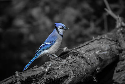 Photograph - Blue Jay Selective Colour by Gary Hall