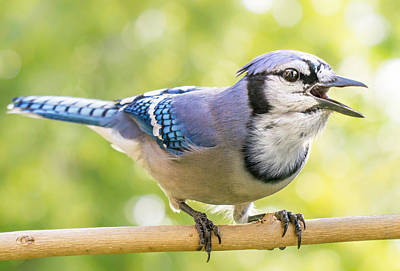 Corvidae Photograph - Blue Jay Sounding Off by Jim Hughes