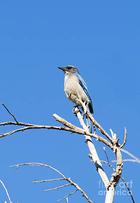 Steven Krull Royalty-Free and Rights-Managed Images - Blue Jay by Steven Krull
