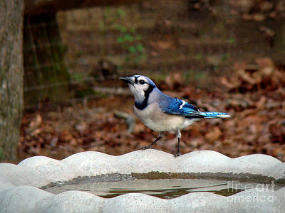 Photograph - Blue Jay Strikes A Pose by Sue Melvin