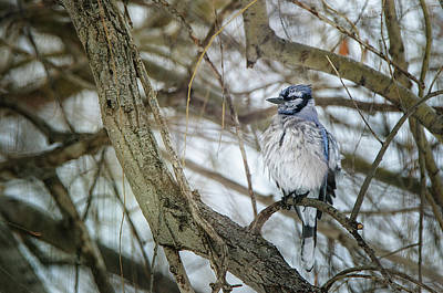 Photograph - Blue Jay by Susan McMenamin
