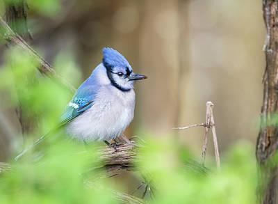 Photograph - Blue Jay by Tracy Munson