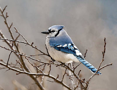 Photograph - Blue Jay Way by Lara Ellis