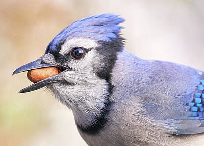 Photograph - Blue Jay With Peanut by Jim Hughes