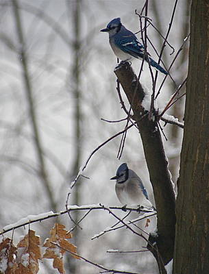 Photograph - Blue Jays In Winter by Louise Fahy