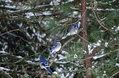 Photograph - Blue Jays Line Up by David Porteus