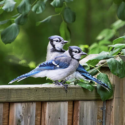 Photograph - Blue Jays Looking For Trouble by Peggy Collins