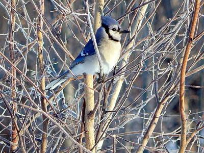 Bluejay Photograph - Blue  by Karen Cook