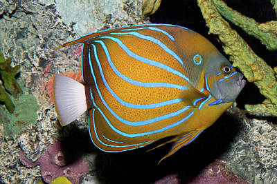 Photograph - Blue King Angelfish by David Freuthal