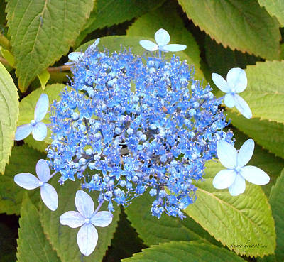 Photograph - Blue Lacecap Hydrangeas by Kume Bryant