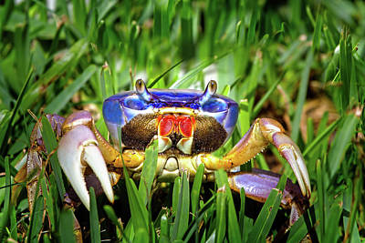 Photograph - Blue Land Crab by Mark Andrew Thomas