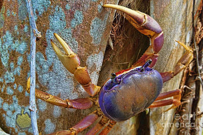 Photograph - Blue Land Crab by Olga Hamilton