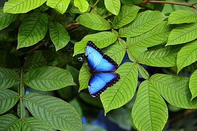 Photograph - Blue Leaves - Morpho Butterfly by KJ Swan