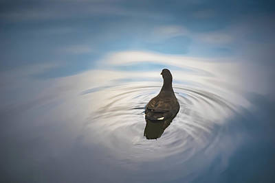 Photograph - Blue Light Moorhen by Brett Christensen