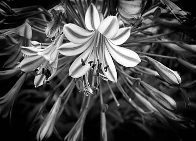 Photograph - Blue Lilies In Black And White by Carolyn Marshall
