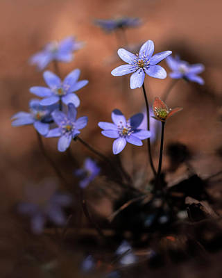 Photograph - Blue Liverworts by Jaroslaw Blaminsky
