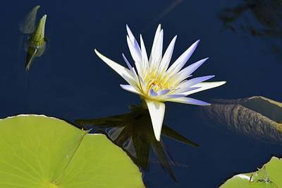 Photograph - Blue Lotus by Tana Reiff