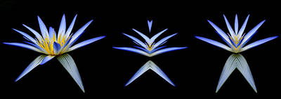 Photograph - Blue Lotus Transitions 1-2-3 by Wayne Sherriff