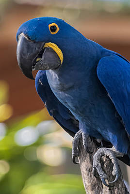 Mark Myhaver Royalty Free Images - Blue Macaw Royalty-Free Image by Mark Myhaver