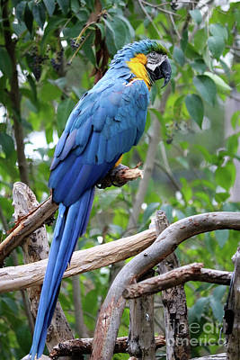 Photograph - Blue Macaw by Suzanne Luft