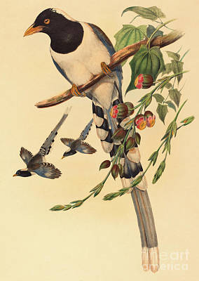 Magpies Drawing - Blue Magpie, Urocissa Magnirostris by John Gould