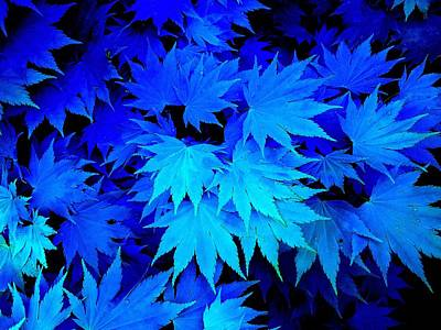 Photograph - Blue Maple Leaves by Colin Drysdale