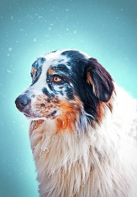 Dog Photograph - Marble Aussie by Oksana Ariskina
