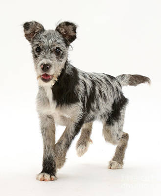 Dog Trots Photograph - Blue Merle Mutt by Mark Taylor