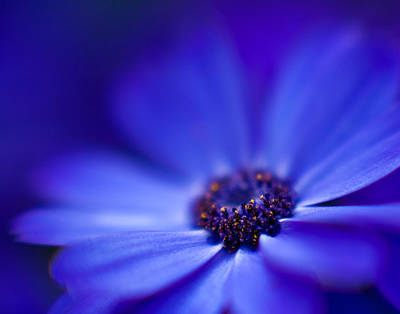 Gerbera Photograph - Blue by Mike Reid
