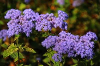 Photograph - Blue Mist Flower by Kathryn Meyer