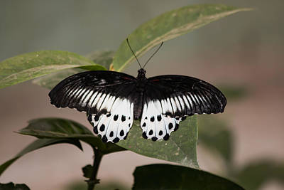Photograph - Blue Mormon  by Ramabhadran Thirupattur