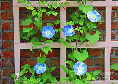 Photograph - Blue Morning Glory by Janet Immordino