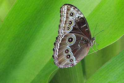Photograph - Blue Morpho by Angela Murdock
