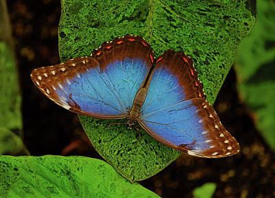 Photograph - Blue Morpho Beauty by Ronda Ryan