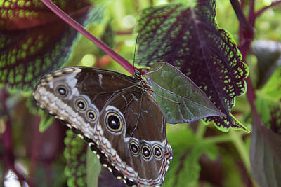 Photograph - Blue Morpho Butterfly 3 by Pamela Williams