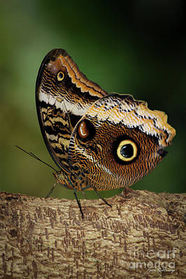 Blue Morpho Butterfly Cecil B Day Butterfly Center Art Art Print by Reid Callaway
