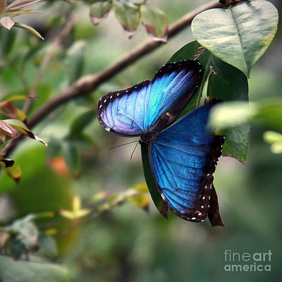 Bug Digital Art - Blue Morpho Butterfly by Glennis Siverson