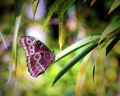 Photograph - Blue Morpho Butterfly In St. Thomas by Bill Swartwout