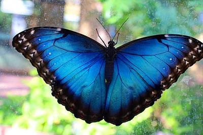 Photograph - Blue Morpho Butterfly by Kathryn Meyer