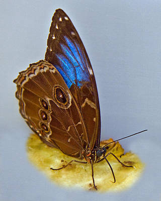 Tropical Butterfly Photograph - Blue Morpho Butterfly by Larry Linton