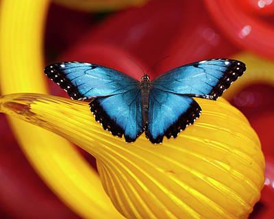 Blue Morpho Butterfly Print by Mark Preston