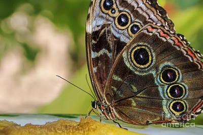 Photograph - Blue Morpho Butterfly Morpho Peleides  by Olga Hamilton