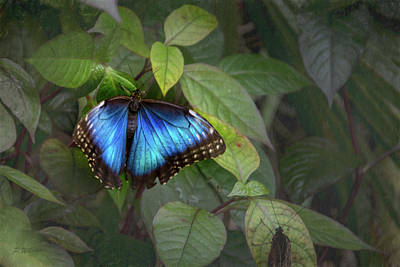 Photograph - Blue Morpho Butterfly by Pamela Williams